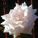 Sonnenbeschiene Herbst Rose von BlueMoonRose