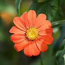 Mexican Sunflower 2017-1 by Thomas Young
