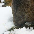 wombat by sarah ward