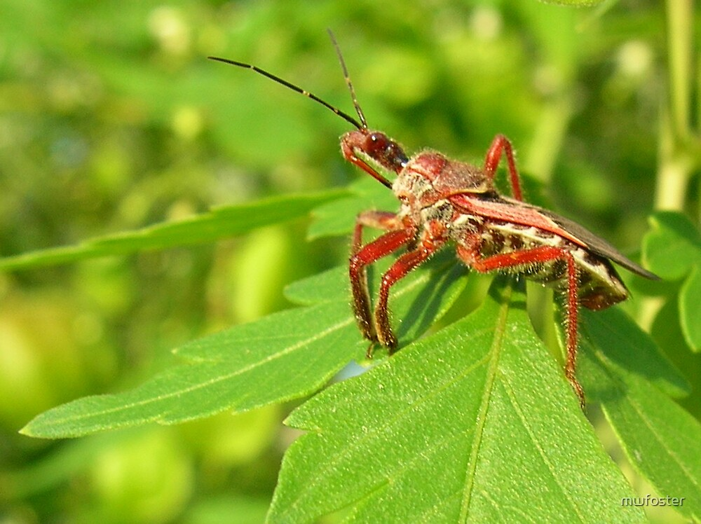 kissing bug by mwfoster