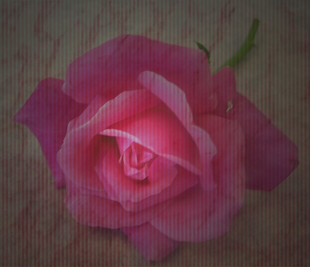 Pink on pink by Judi Taylor