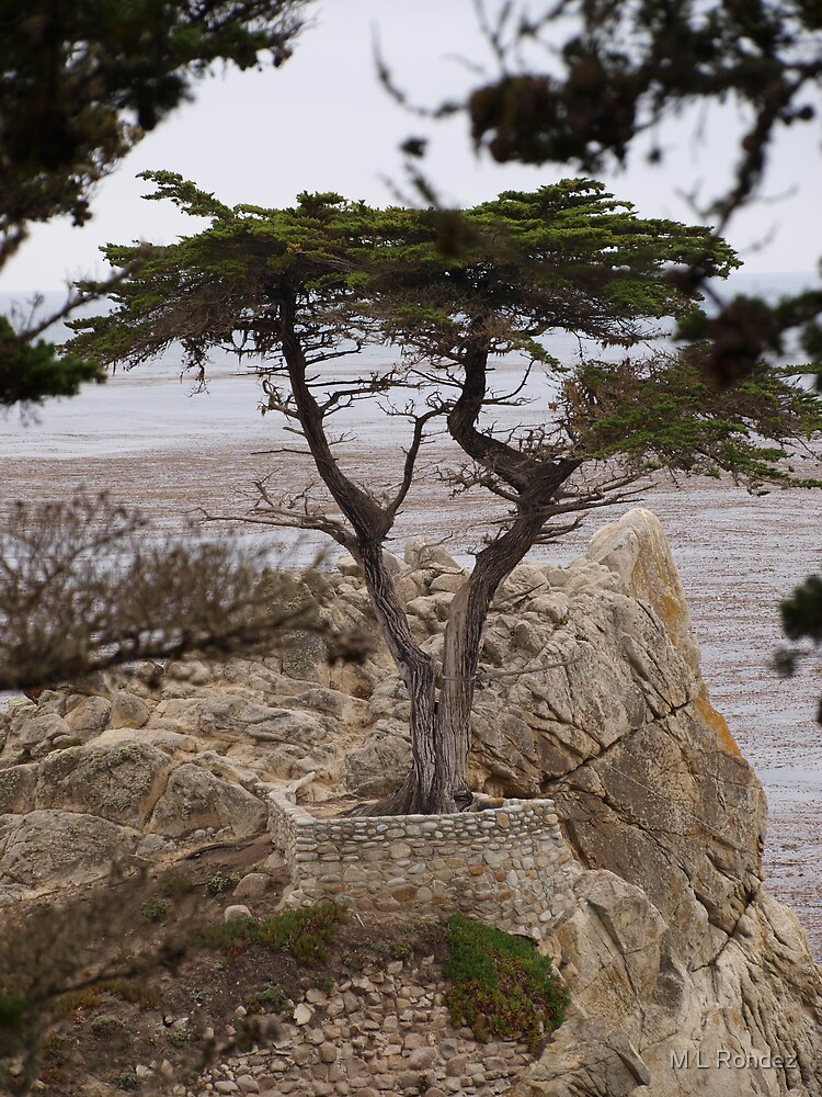 The Lone Cypress by M L Rondez
