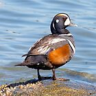 Beautiful Harlequin Duck on the Rock by walkswithnature