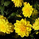 Sunlit Autumn Dahlias by SunriseRose