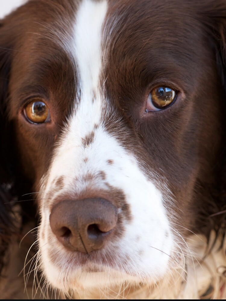 Brown and White Springer Spaniel Portrait by robcole
