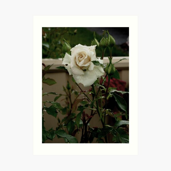 white rose with raindrops birthday card  Art Print