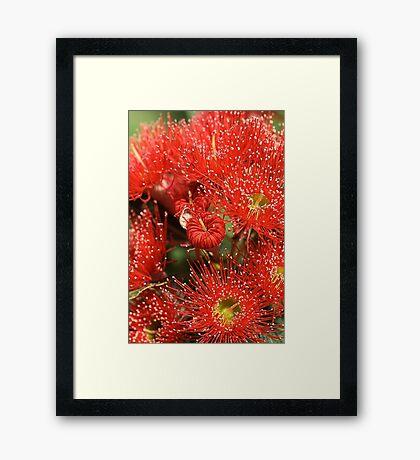 Red Eucalyptus flowers Framed Print