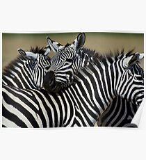 Zebras grazing in a Africa field  Poster