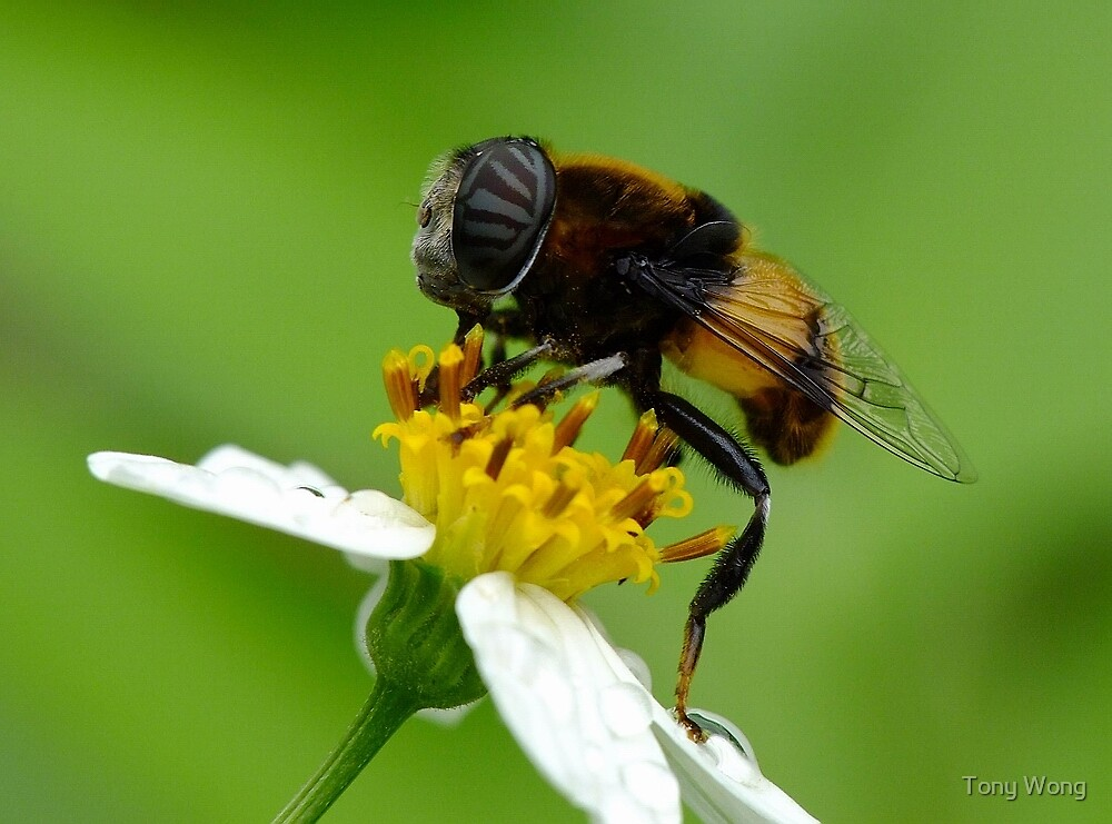 Bee with a sunglass... by Tony Wong