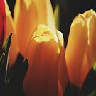 Tulips by Alex Volkoff