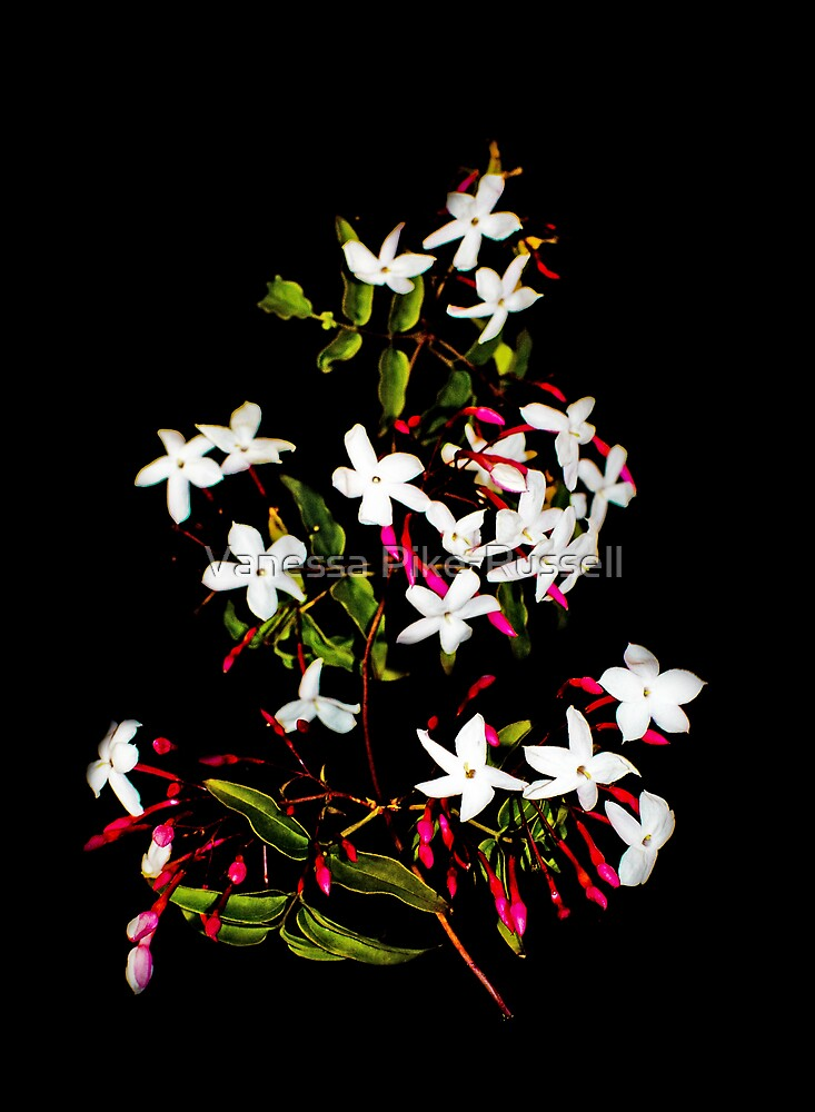 Jasmine flowers by Vanessa Pike-Russell