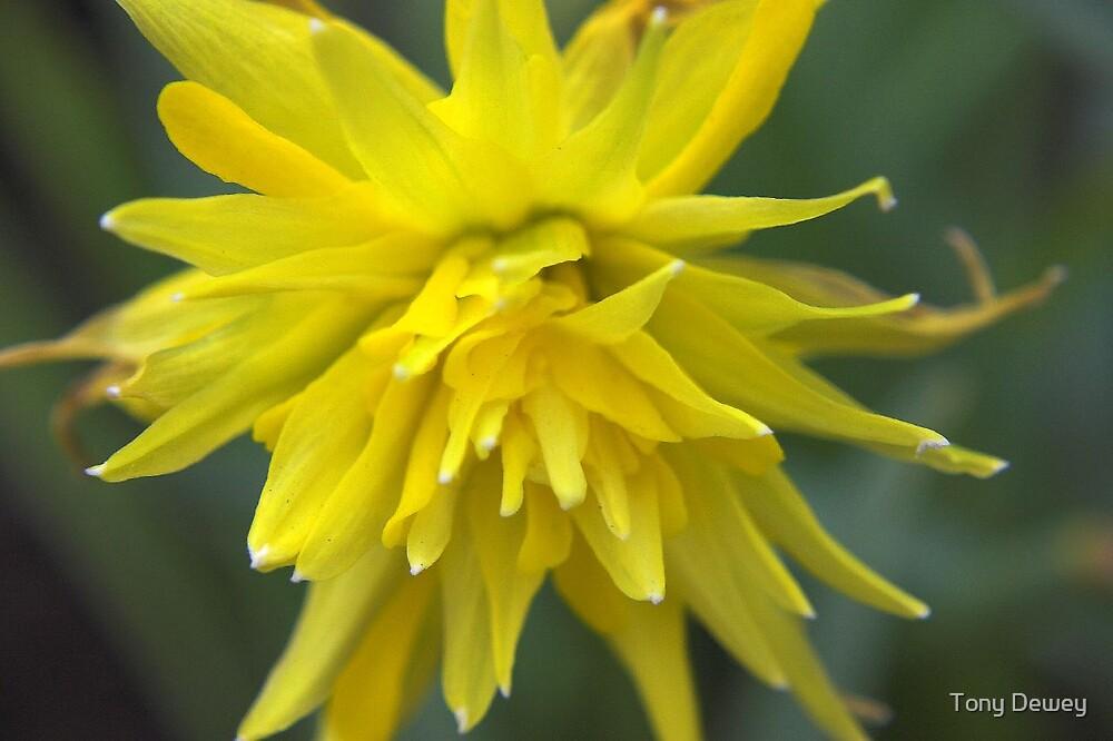 Daffodil by Tony Dewey