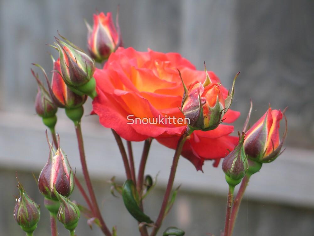 Fire Rose in Bloom by Snowkitten