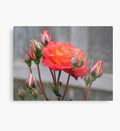 Fire Rose in Bloom Metal Print