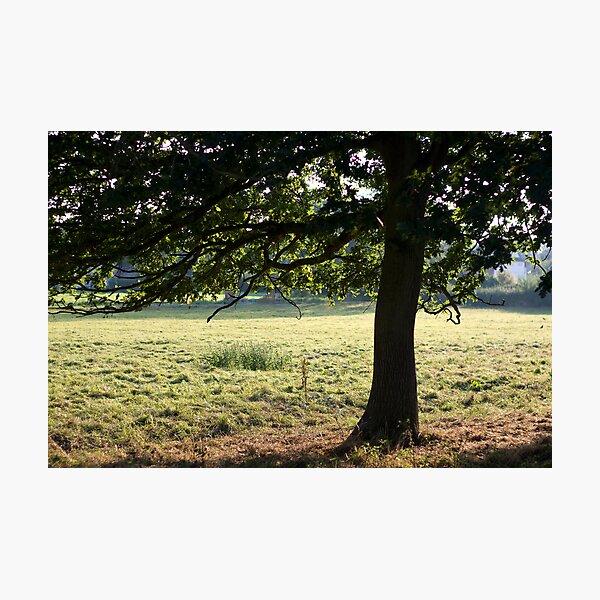 Cow Tree Photographic Print