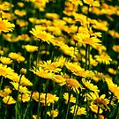 Field of Gold by cclaude