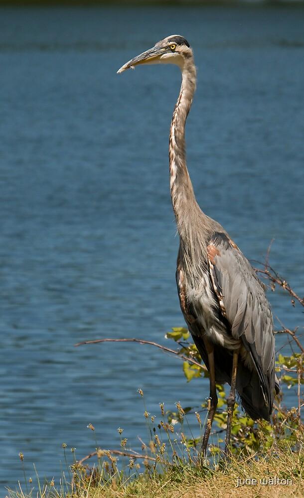 Blue Heron by jude walton