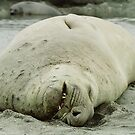 Southern Elephant Seal    by Steve Bulford