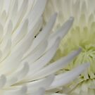 White Mums by Sherry Durkin