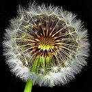 Dandelion  light by relayer51