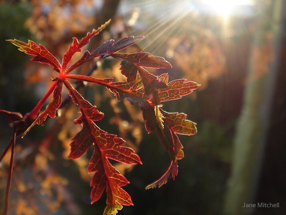 Early Morning Maple by Jane Mitchell