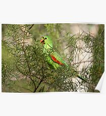 Red-winged Parrot Poster