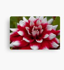Macro photo of a red and white Dahlia Canvas Print