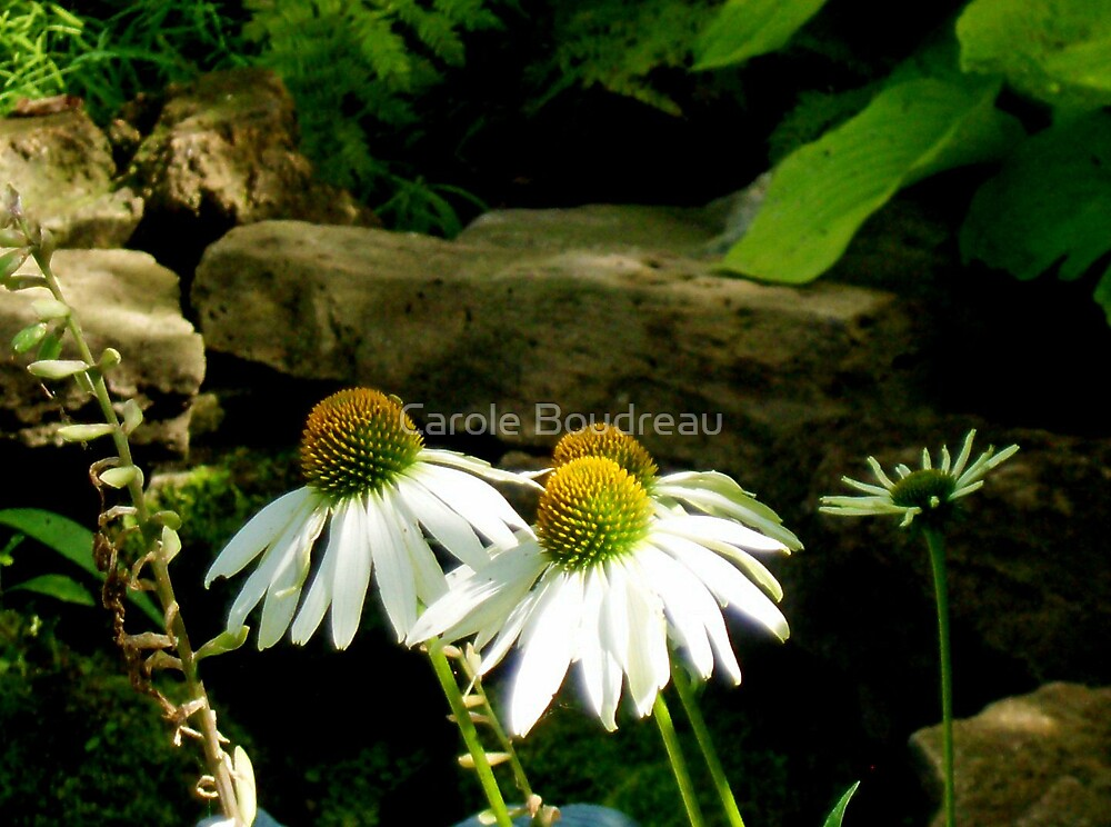 Daisies in a hurry...Echinacea Sunrise by Carole Boudreau