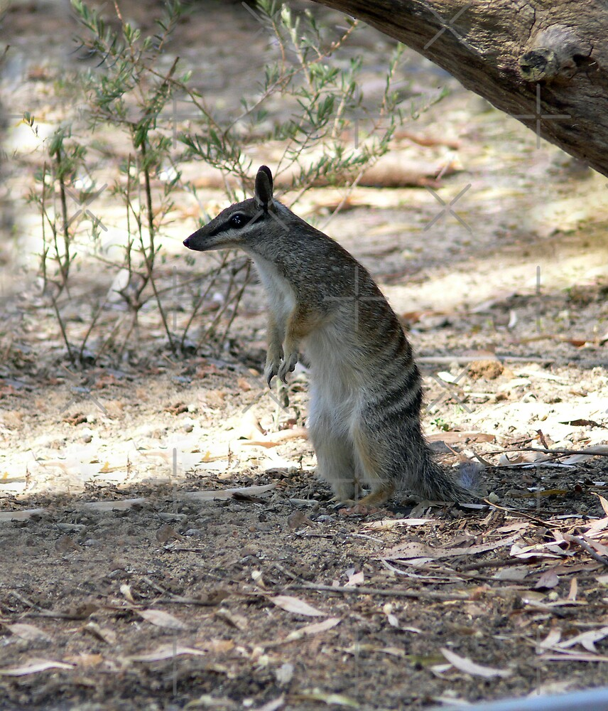 Numbat - Ever watchful by Sandra Chung
