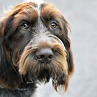 Portrait ~ Spinone Italiano dog by Laurie Minor