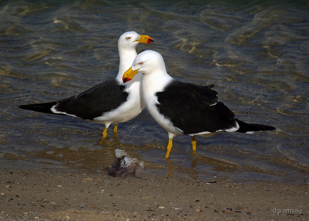 Pacific Gulls 1 by dgramsay