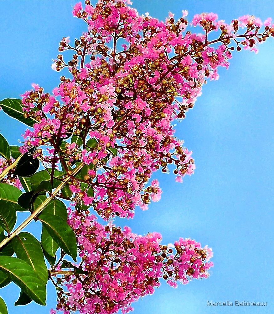 Crepe Myrtle Blooms by Marcella Babineaux