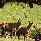 They are all mine - Red Deer. by Trevor Kersley