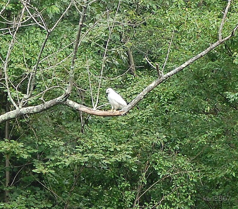 white hawk by kari2867