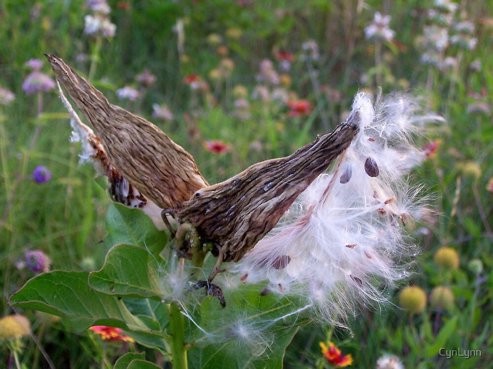 Texas milkweed by CynLynn