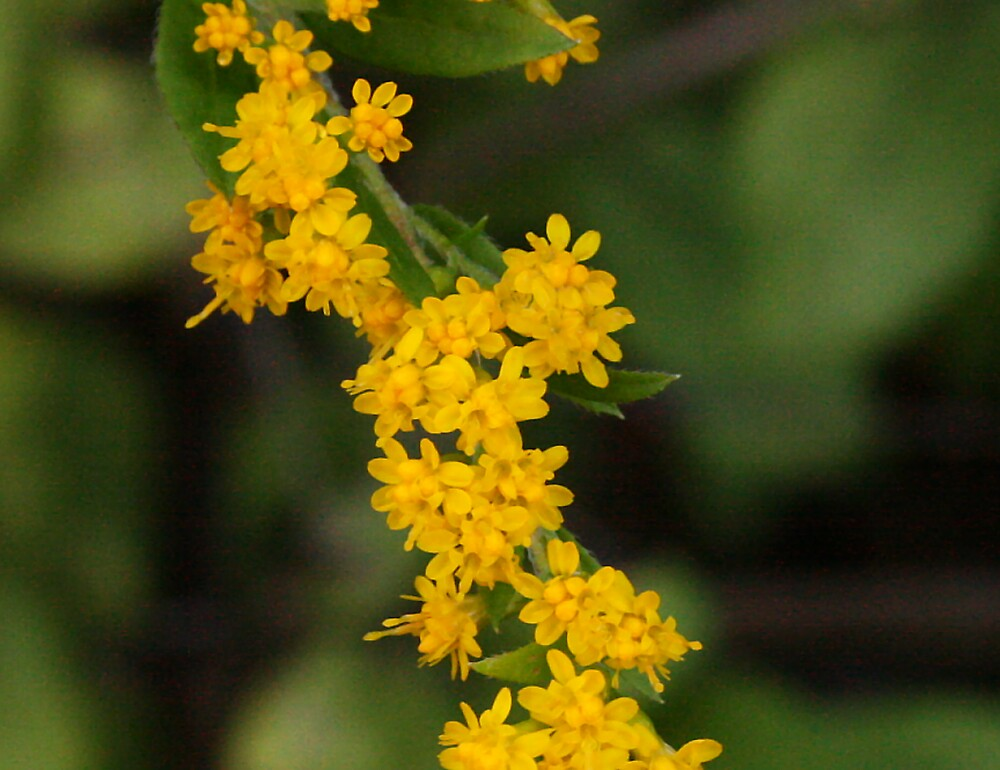 spray of goldenrod by erisreg