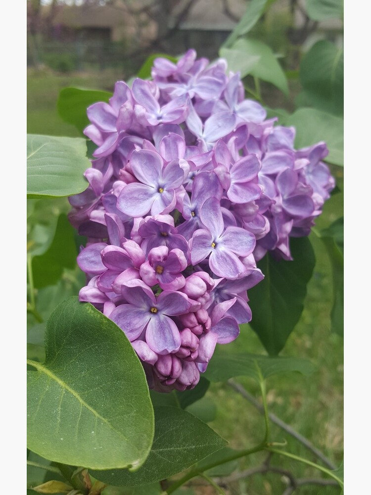 Spring Lilac by chaoticginger