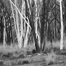 Black & White Trunked Gums by Geoff Smith