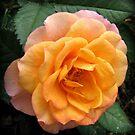 Weiche und sanfte Aprikose und rosa Rose von BlueMoonRose