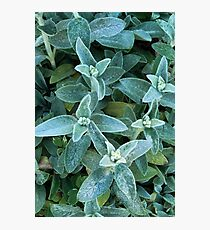 In Just a Shake of a Lamb's Ear  Photographic Print
