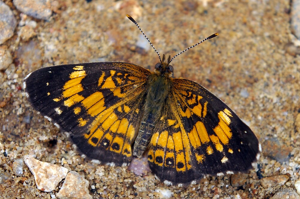 Yellow and Black Butterfly by rdshaw