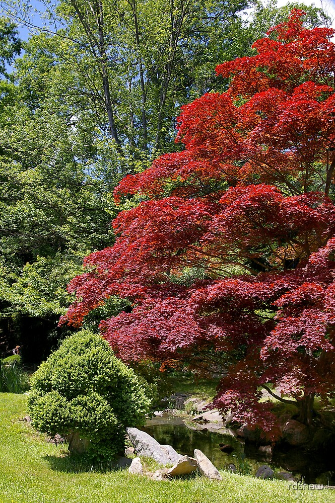 Japanese Maple by rdshaw