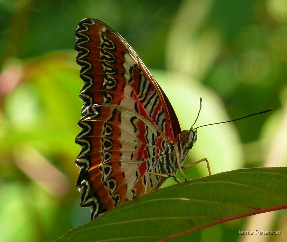 Cethosia Hypsea by Jamie Peterson