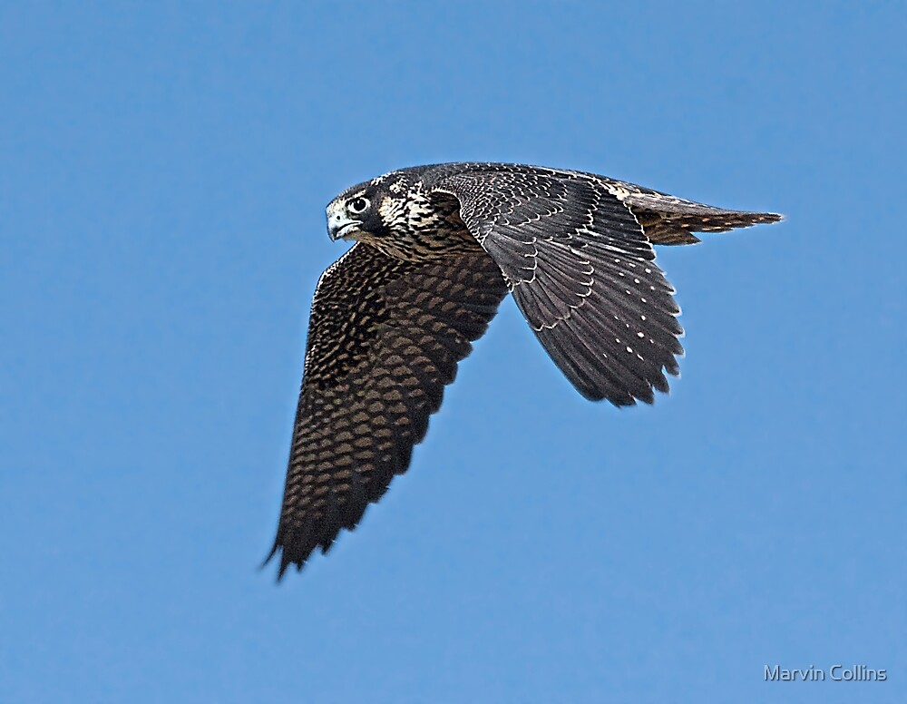 Peregrine Falcon in Flight by Marvin Collins