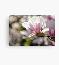 magnolia flowers on a blury background Canvas Print