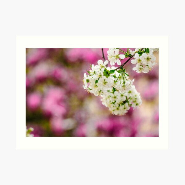 flowers of apple tree on a bulr background Art Print