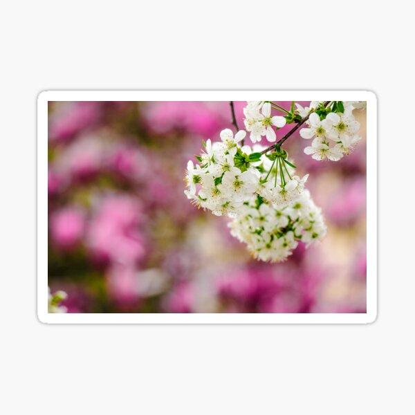 flowers of apple tree on a bulr background Sticker