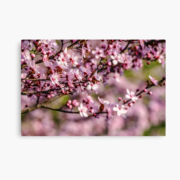 flowers of apple tree on a blur background Canvas Print