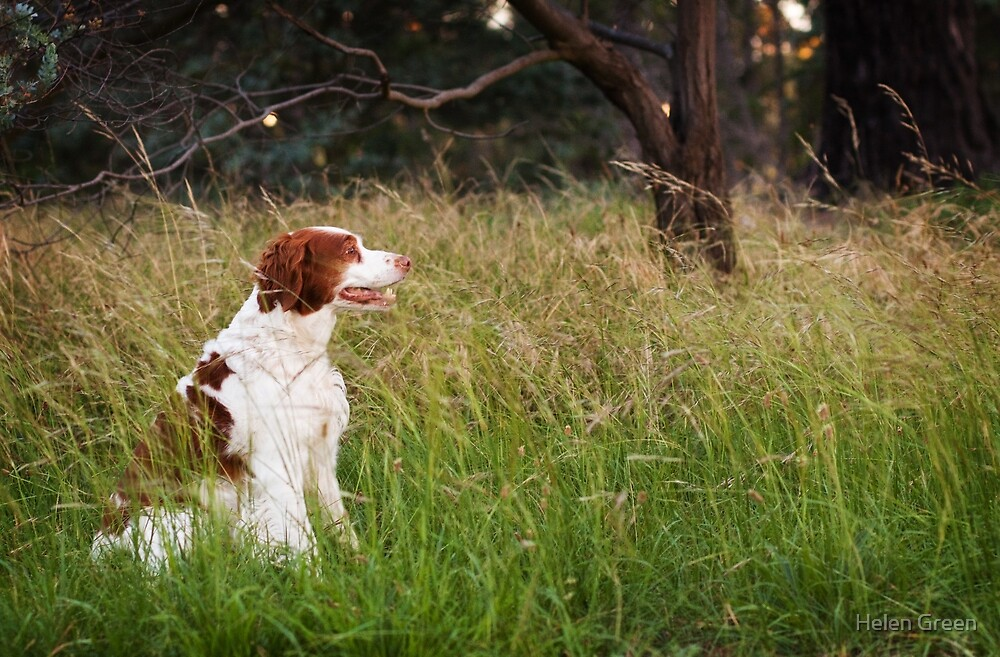 Bella the Brittany by Dog Shop