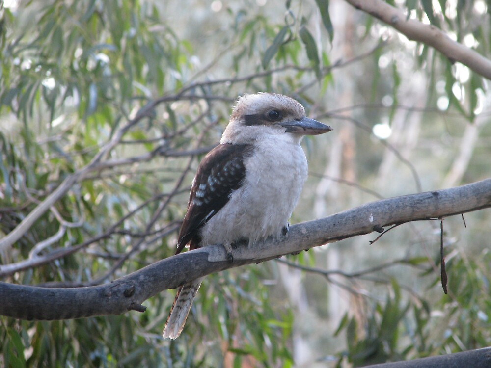 Kookaburra by Robert Jenner